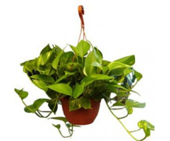 Money Plant Newplant21